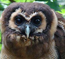 Brown Wood Owl by purpleminx