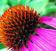 Echinacea Flower by Jennifer Hulbert-Hortman