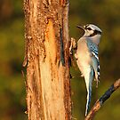 Vertical - Blue Jay by Bill McMullen