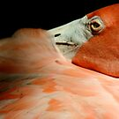 Flamingo at Jungle Gardens IV by Sheryl Unwin