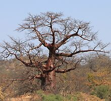 Redwine Baobab by Antionette