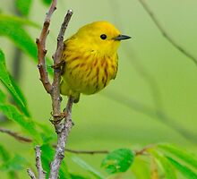Yellow Warbler by Nancy Barrett