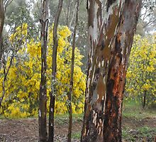 Golden Wattle in the Bush by Lozzar Landscape