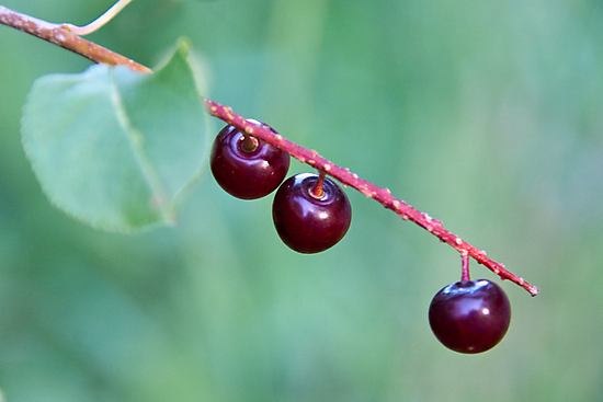 Choke Cherries by James Birkbeck