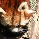 Wandering Red Panda  by v-something