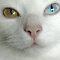 Odd Eyed Cats & Dogs