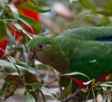 Australian King Parrot III by Tom Newman
