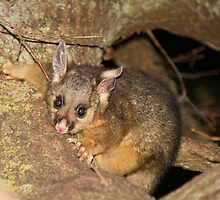 It's baby possum season!!! by Denzil