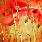 Poppies by mariakallin