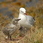 Gull with chick by ianheaney