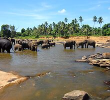 Sri Lankan Elephants by ianheaney