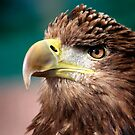 White Tailed Sea Eagle by Paul Messenger
