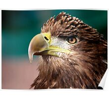 White Tailed Sea Eagle Poster