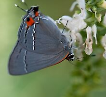 Gray Hairstreak Butterfly by Yvonne Roberts