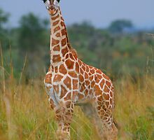 Young Giraffe On Alert by naturalnomad