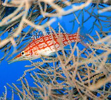 Lonenose Hawkfish by BobP