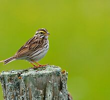 Savannah Sparrow by Nancy Barrett