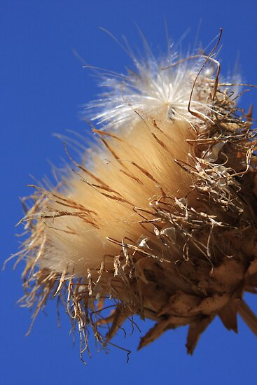 Fluffy Thistle! by heatherfriedman