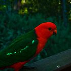 King Parrot, Male - Mt. Victoria by Steven Maynard