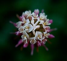 Alberta Wildflowers 1: Dutch Clover by James Birkbeck