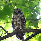 Barred Owl by Éilis  Finnerty Warren