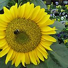 126 - BEE ON A SUNFLOWER - 01 (D.E. 2010) by BLYTHPHOTO
