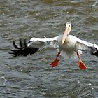 White Pelican by eaglewatcher4