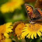 Small Copper by Neil Bygrave (NATURELENS)