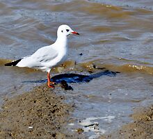 Black Headed Gull by brianfuller75