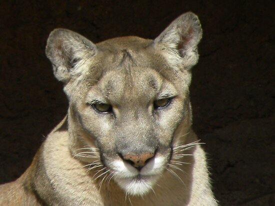 Mountain Lion by Emily Bagley