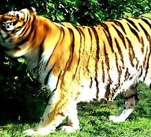 Tiger  by Hugh Mitchell