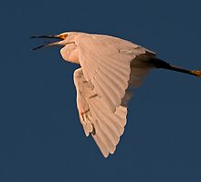 090210 Snowy Egret by Marvin Collins