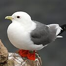 Red-legged Kittiwake by Gina Ruttle  (Whalegeek)