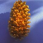 PINECONE ON ROYAL BLUE by Charlotte Daniels