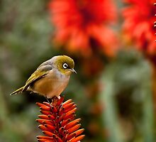 Silvereye by Margot Kiesskalt