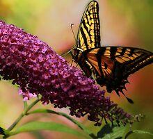 Swallowtail on Butterfly Bush by KatsEyePhoto