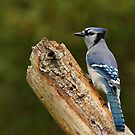 Blue Jay by Bill McMullen