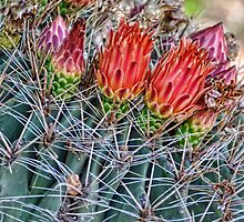 Barrel Cactus Blooms  by Saija  Lehtonen