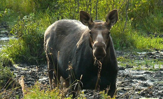 September Cow Moose by mooselandtours