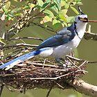 Blue Jay (Cyanocitta cristata) by DutchLumix