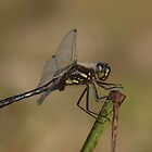 Black darter male by Jon Lees