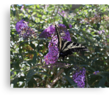 The Western Tiger Swallowtail Butterfly......... Canvas Print