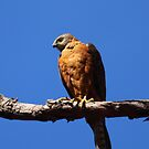 Red Goshawk by naturalnomad