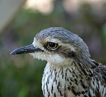 Bush Thick Knee by triciaoshea