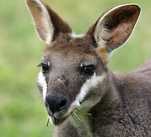 Pretty Face Wallaby by triciaoshea
