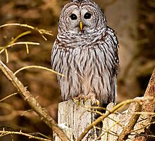 Barred Owls by Michael Cummings