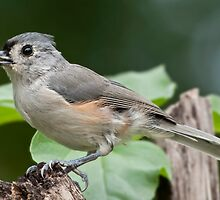 Tidbit for aTufted Titmouse by Bonnie T.  Barry