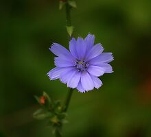 Chicory by Brent McMurry