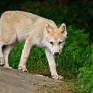 Arctic Wolf Pup on Rock by Michael Cummings