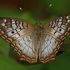 FLUTTER-BY by Gail Falcon